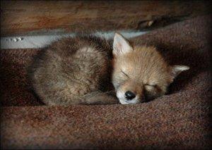 12_07_coyote_cute