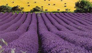 000_lavender_field